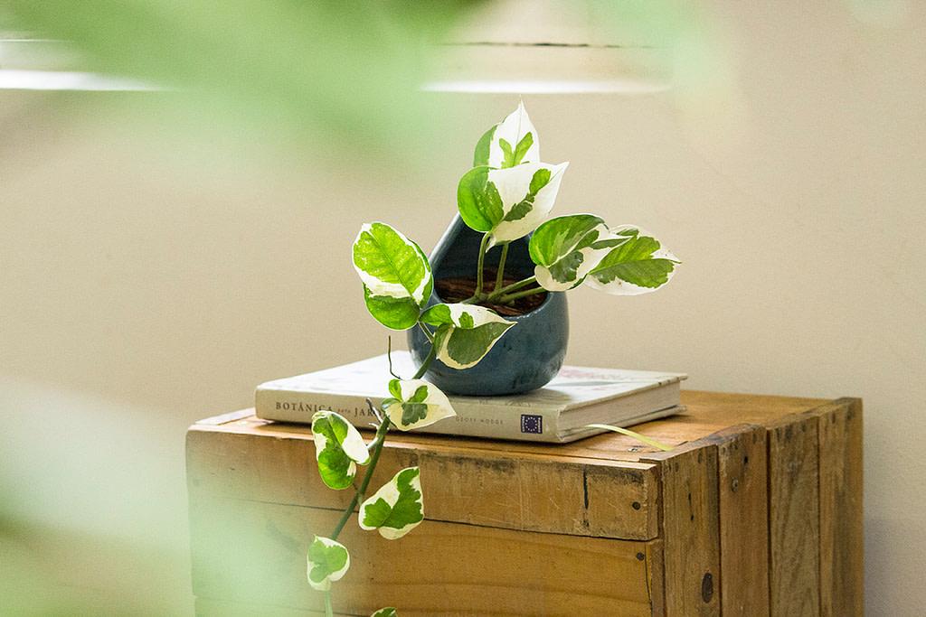Hipó - Jibóia Planta Facil de Cuidar