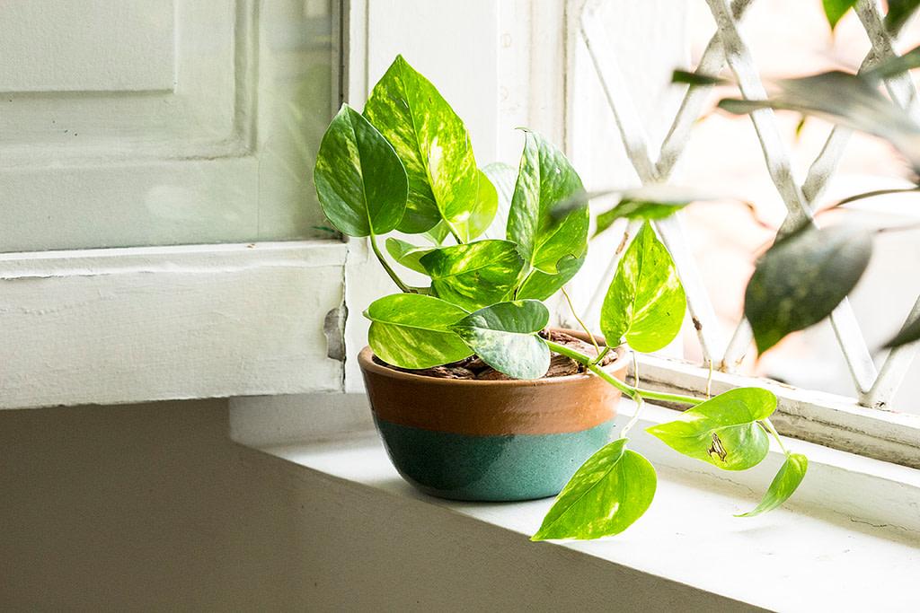 Hipo - Jiboia Planta Facil de Cuidara